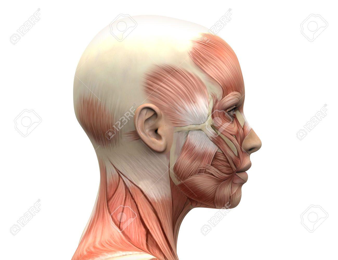 Pin von Phil auf Anatomy | Pinterest