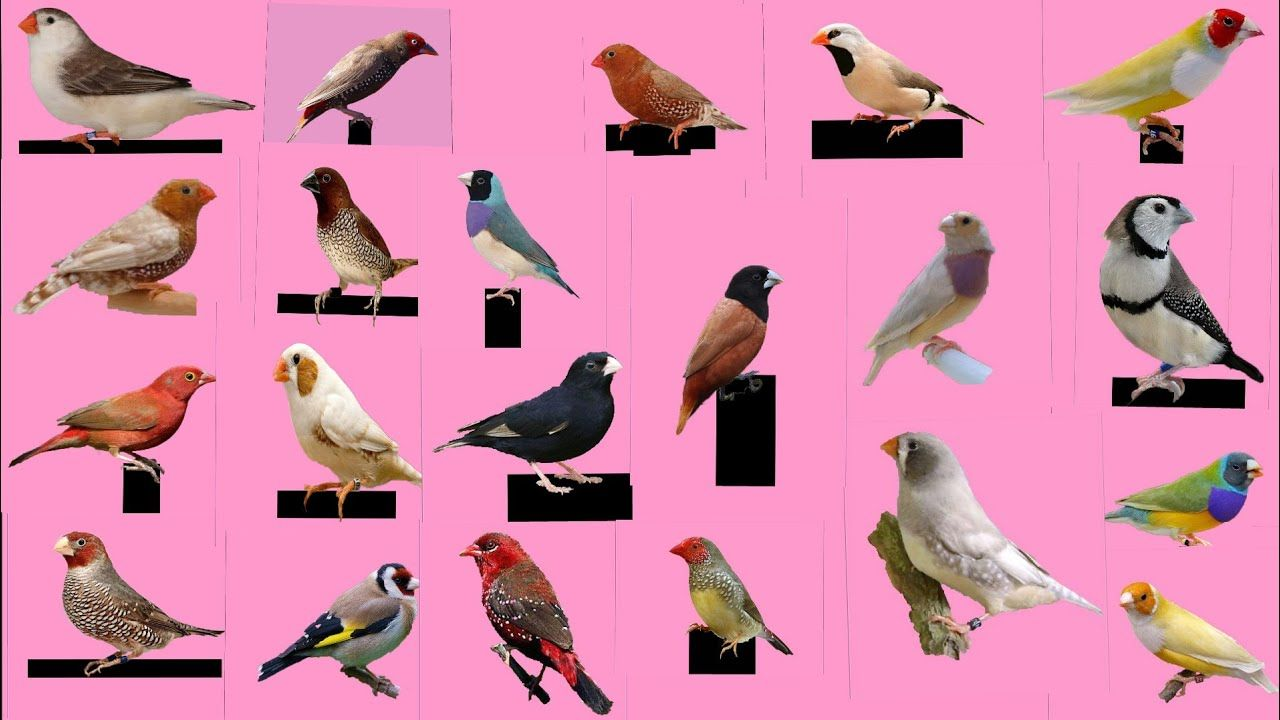 Top 30 Finch Bird and name Finches bird, Bird, Finch