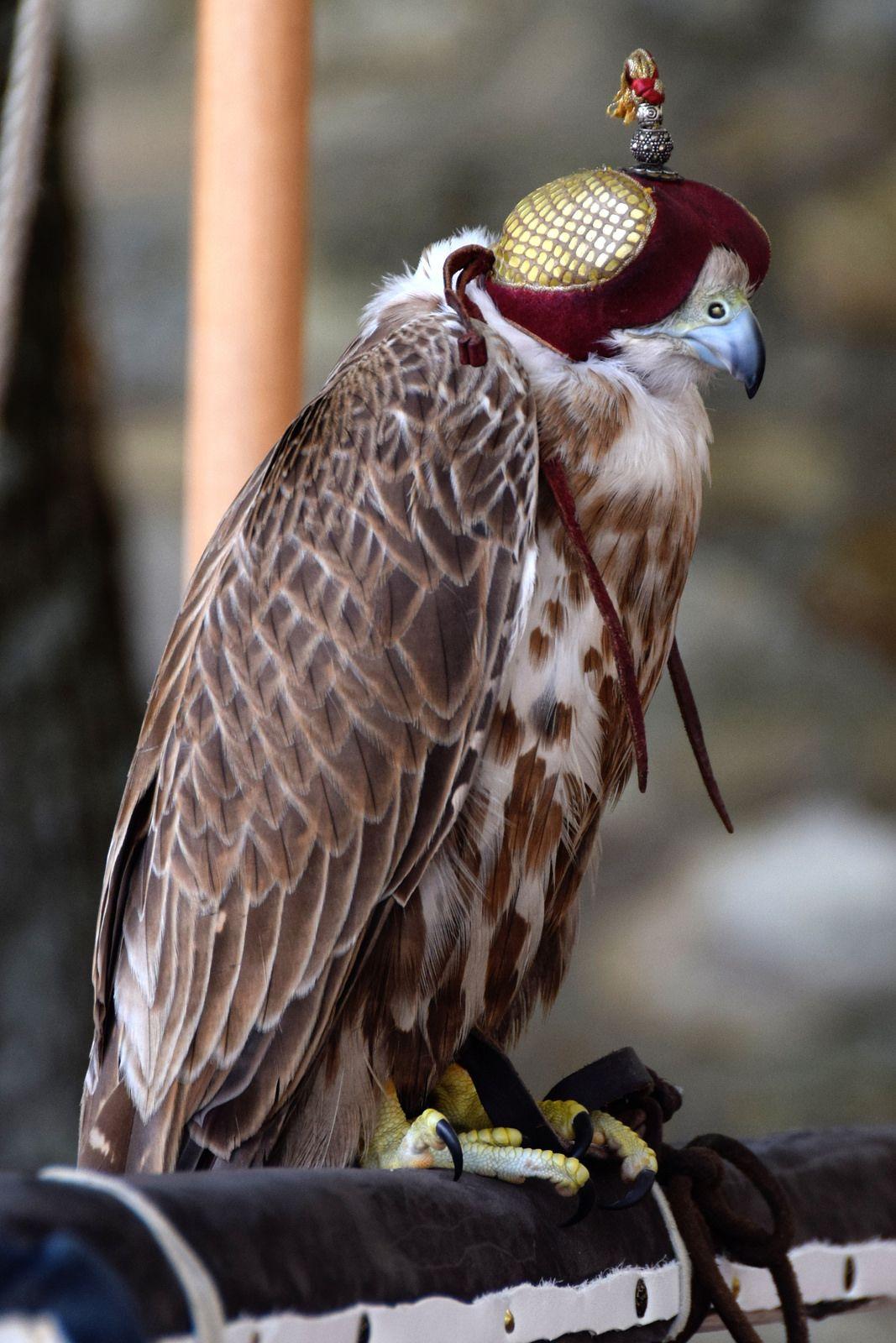 Falconry San Gimignano Italy Birds Of Prey Falconry Pet Birds