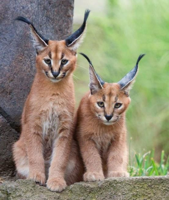 """Ines Griguol  Caracal~~     Sometimes called """"African lynx"""" or """"desert lynx"""", these tufted-eared cats are about three feet long, with a tail about a foot long, and reddish brown fur, except for a white chin, throat, and belly, and a black line running from each eye to the nose."""