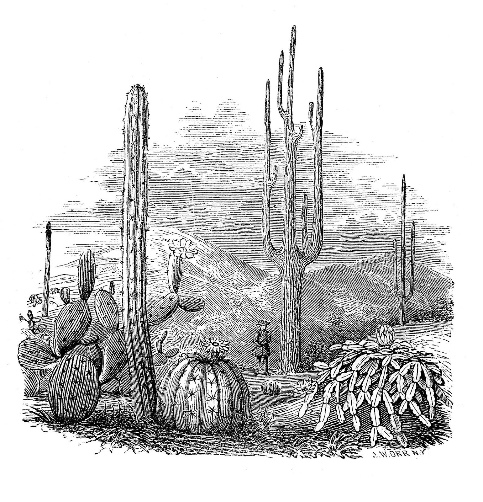 vintage illustrations cactus - Google Search | the old west | Pinterest