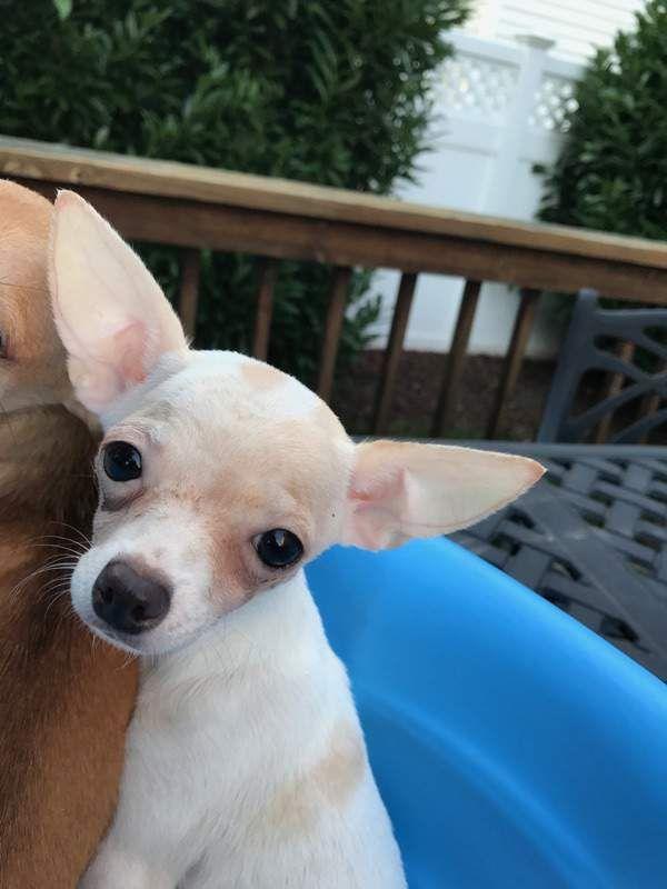 Adopt Opal On Chihuahua Pets Chihuahua Mix