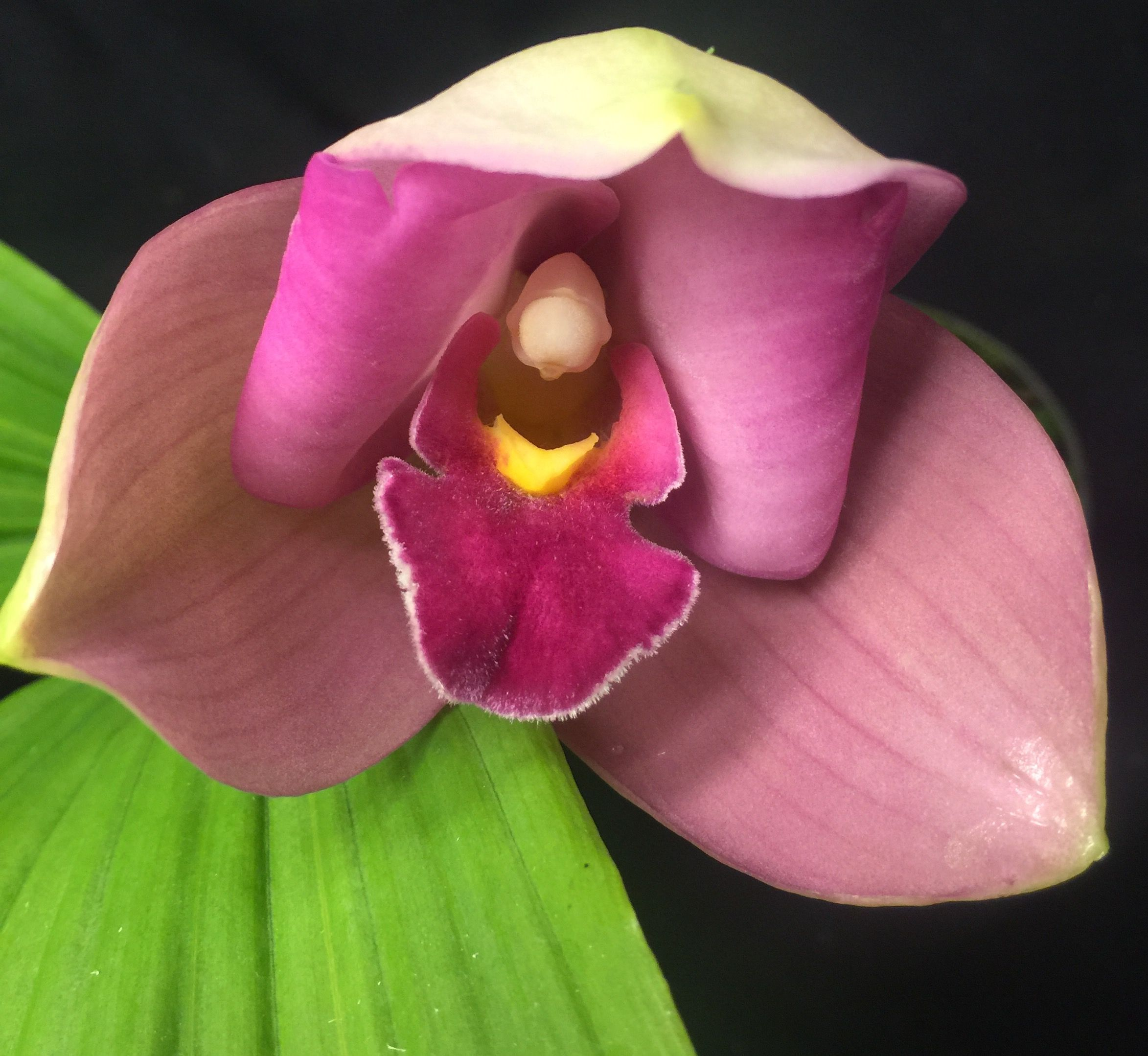Pin by seattle orchid on lycaste love pinterest