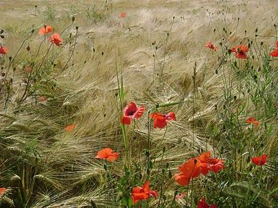 Poppy, the name my children called my father.    by jean-pol Clausse