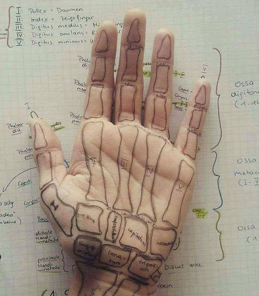 موقع صحة أون لاين رسم توضيحي كامل لشكل العظام داخل اليد هكذا هي عظام يدك تماما Human Anatomy And Physiology Anatomy Hand Therapy