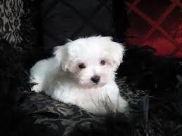 bildergebnis f r mini malteser hund mini malteser pinterest minis. Black Bedroom Furniture Sets. Home Design Ideas
