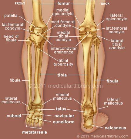 Pin By Genna Hornsby On Anatomy Human Anatomy And Physiology Medical Anatomy Anatomy Bones