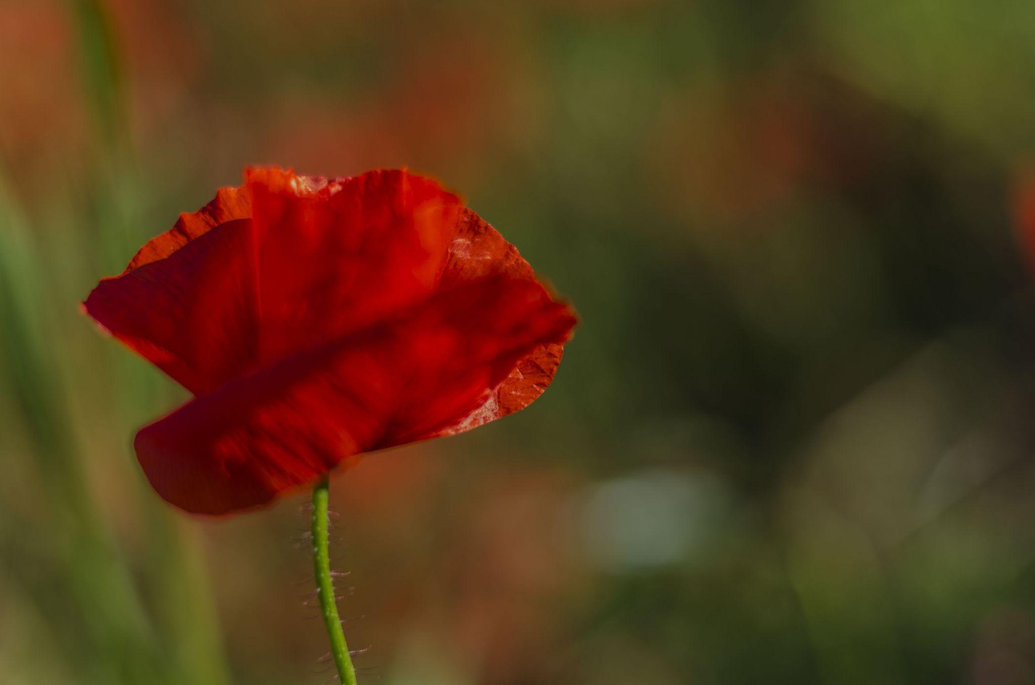 Beautiful Poppy - null