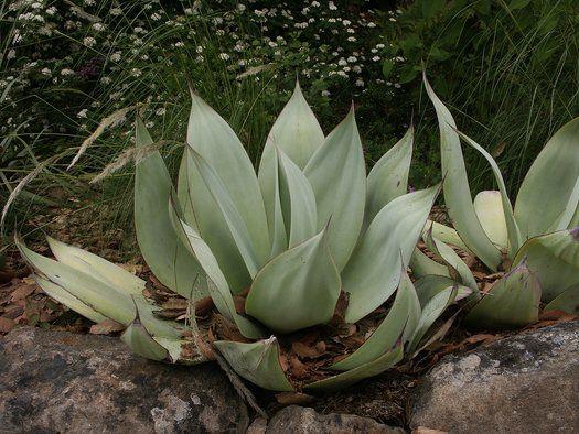 220 Agave Aloe Ideas Xeriscape Succulents Plants