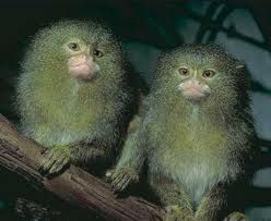 Pictures Marmosets Google Search Pygmy Marmoset Pet Monkey Primates