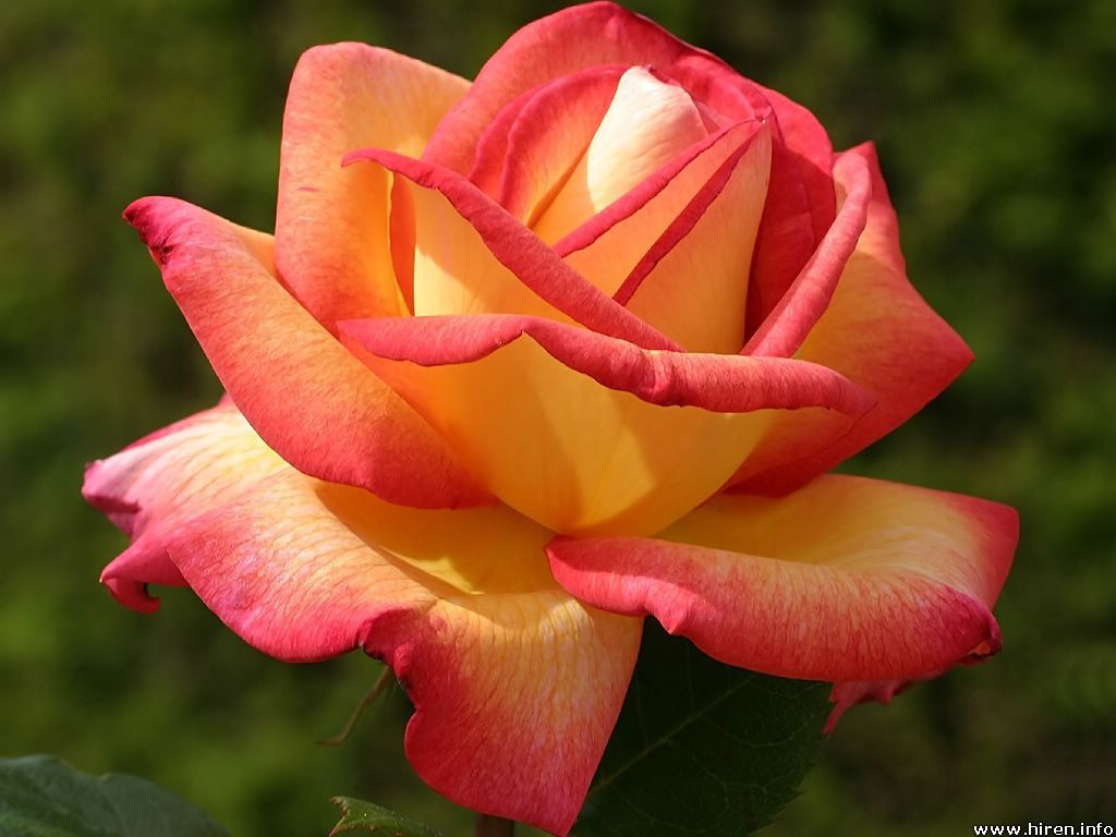 Yellow Rose With Pink Tips | Ivy Leaves & Flame Trees ...