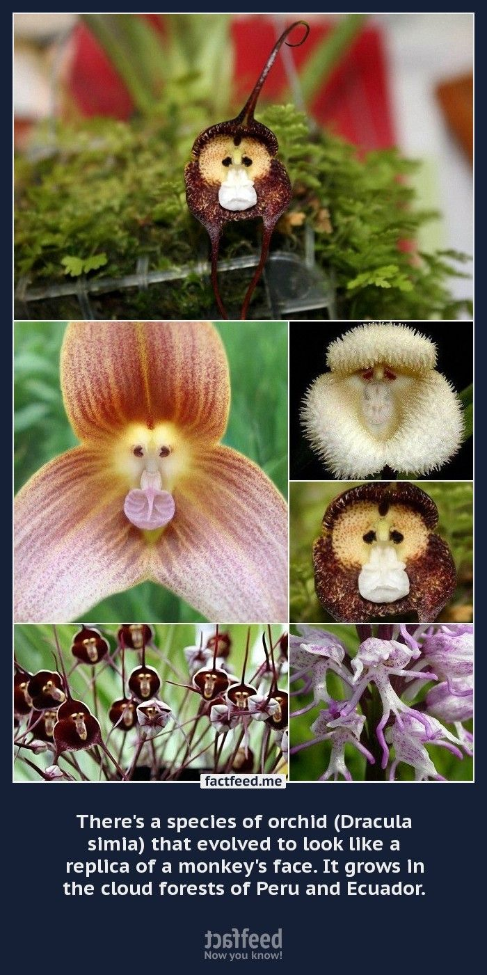 This species of orchid aptly named the monkey face orchid dracula