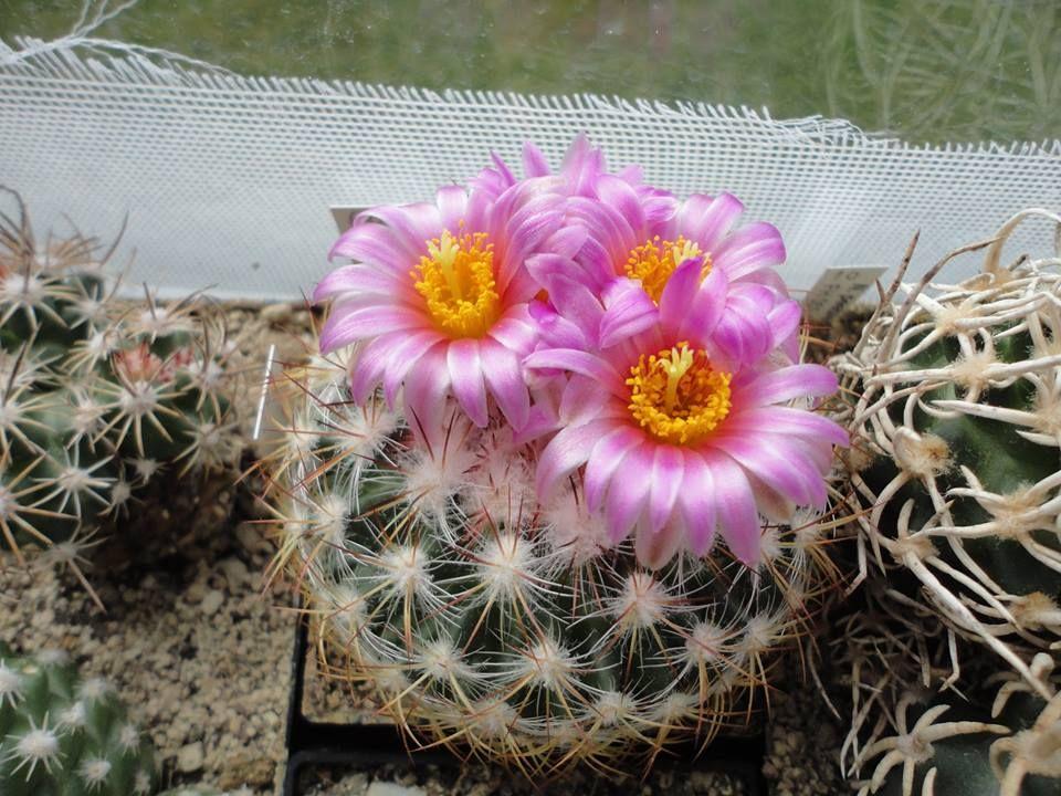 Pediocactus simpsonii ssp.simpsonii VZD 863