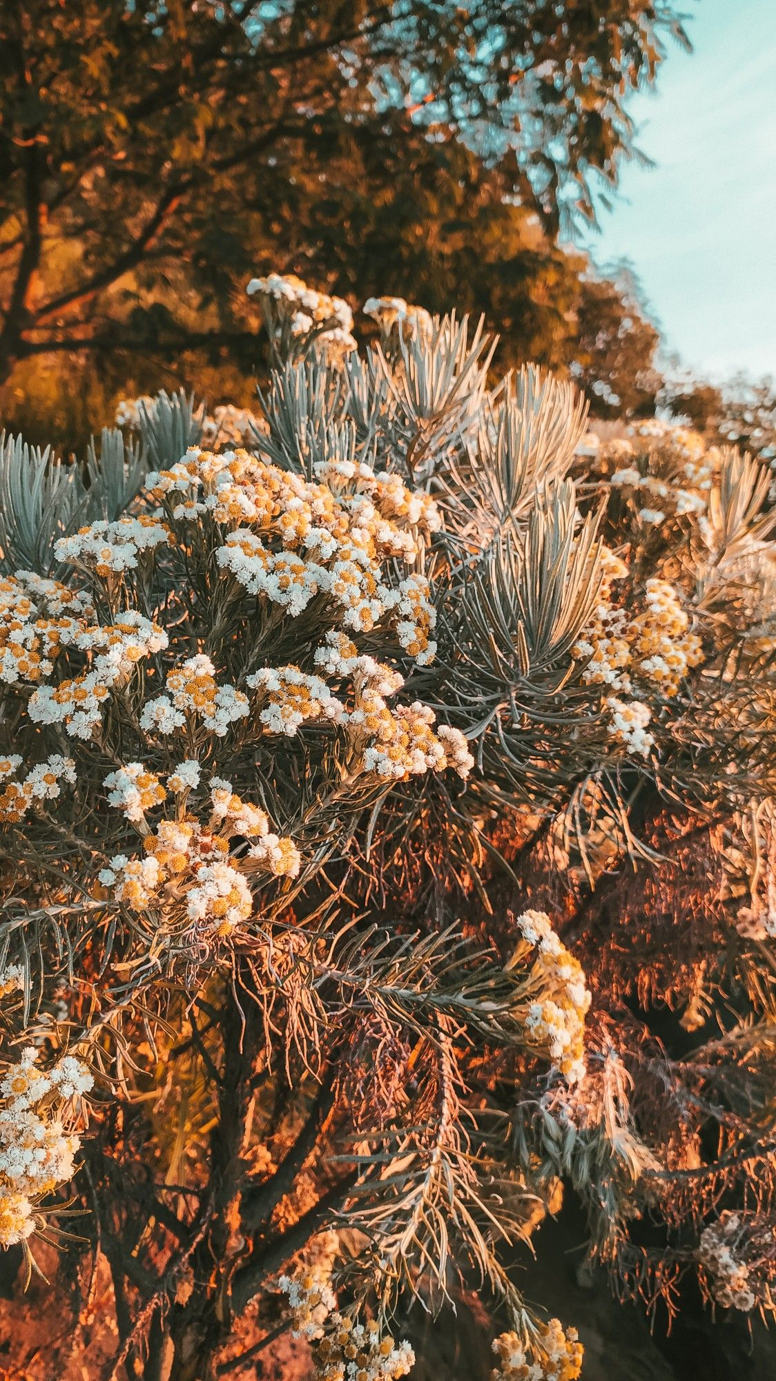 Bunga Edelweiss Bunga