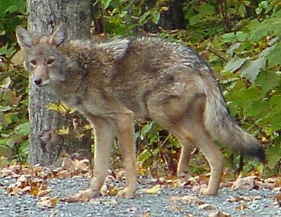 Injured Coyote 1 by Amy E Fraser