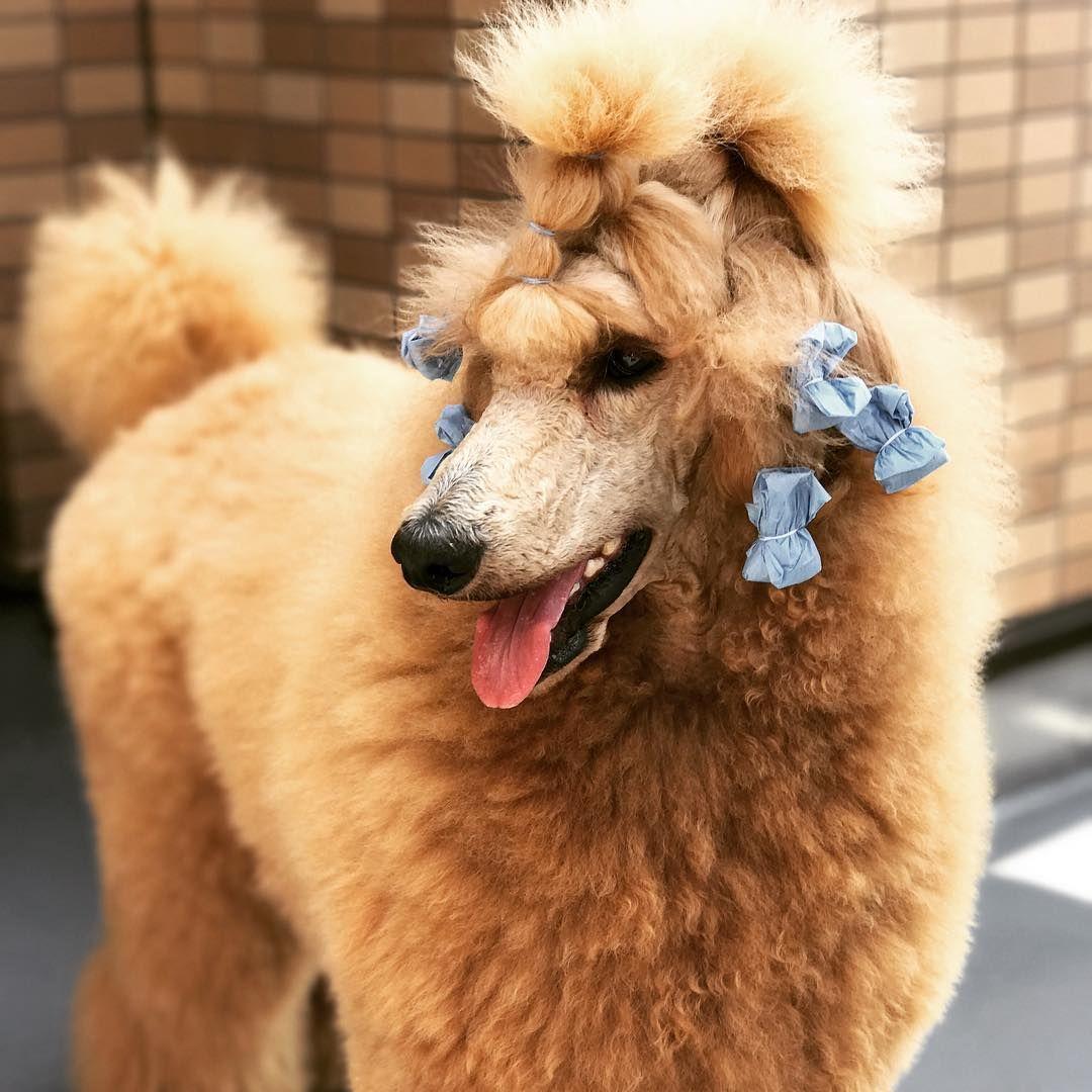 Poodle Beauty Poodle Standard Poodle Dogs