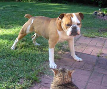 Victorian Bulldog Information And Pictures Victorian Bulldog Victorian Bulldog Bulldog Olde English Bulldogge