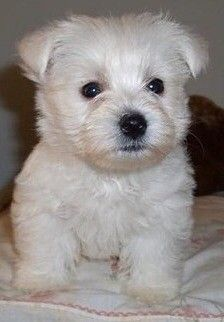 West Highland Terrier Puppy For Sale Burton Upon Trent