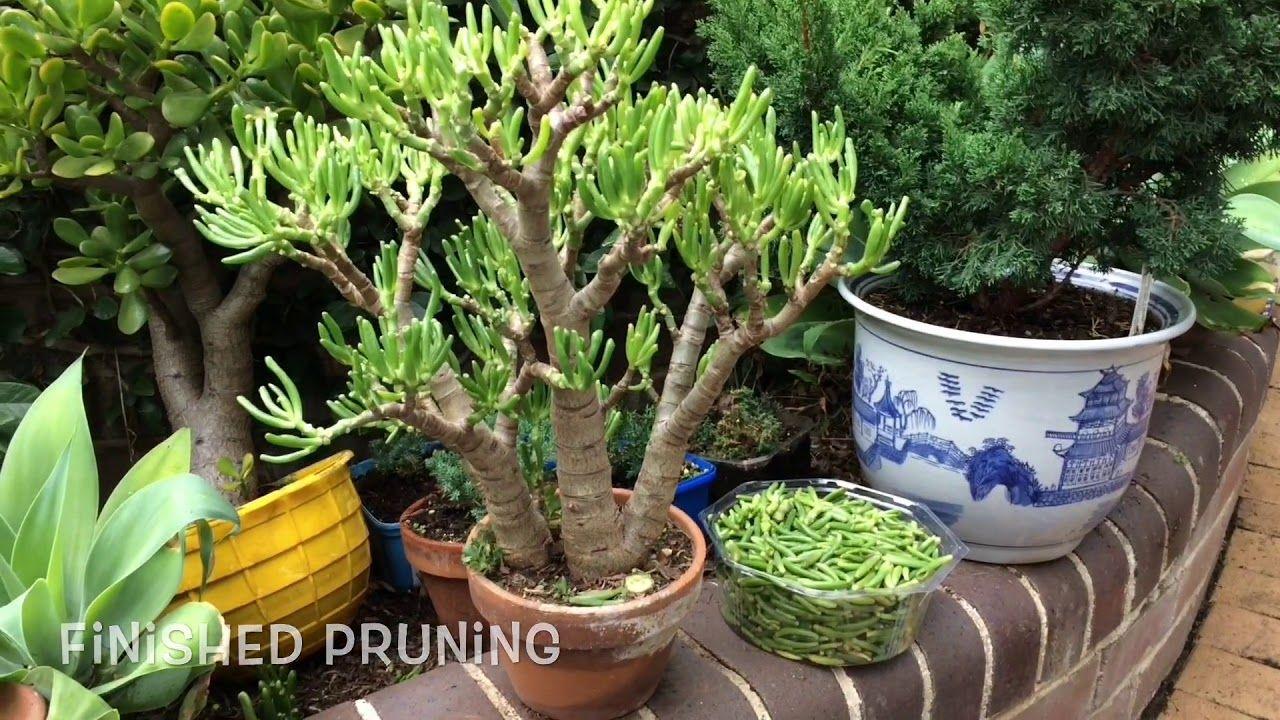 Succulents How To Growing Cuttings Pruning Bonsai Jade Crassula Youtube Succulents Prune Bonsai