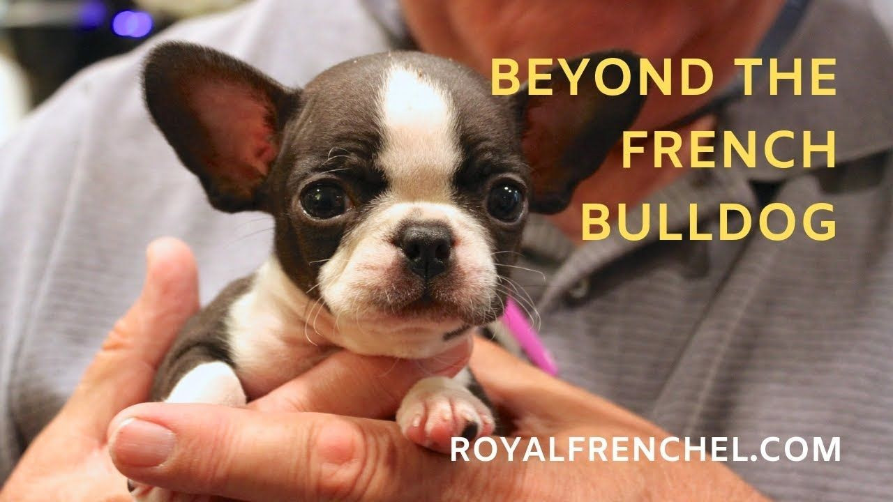 teacup mini french bulldog vs. healthy designer breed micro