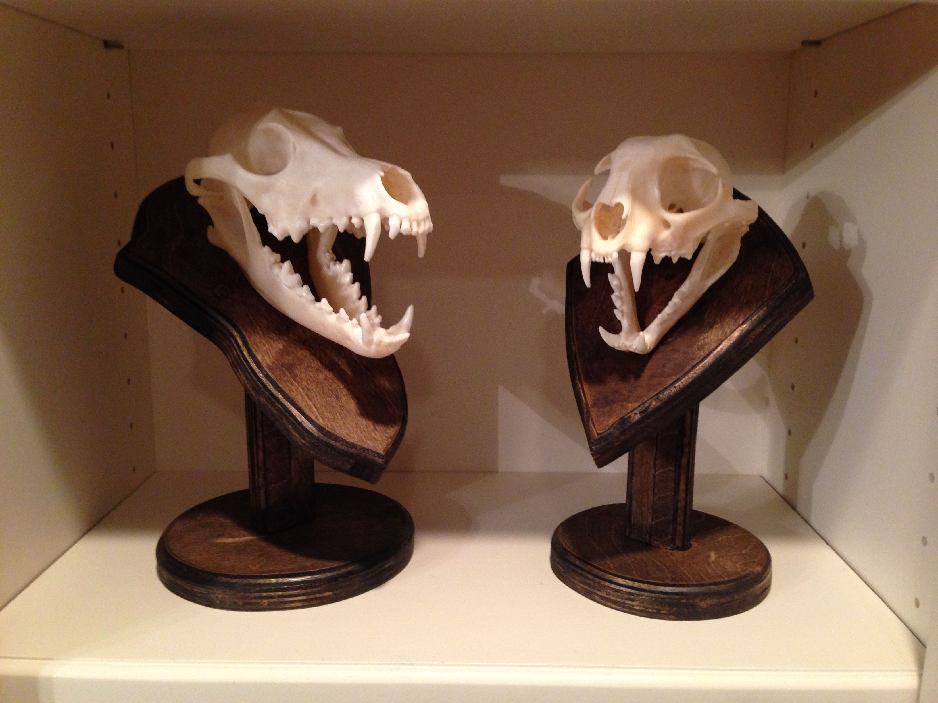 Coyote and bobcat skull mount Skull decor, Coyote skull