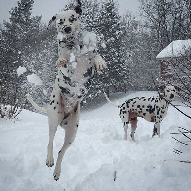 Dalmatian Puppies For Sale | Yelm, WA #312333 | Petzlover