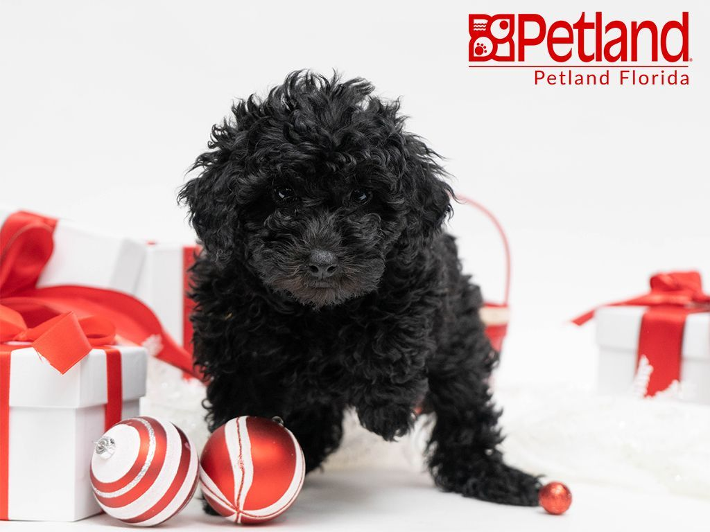 Petland Florida Has Miniature Poodle Puppies For Sale Check Out