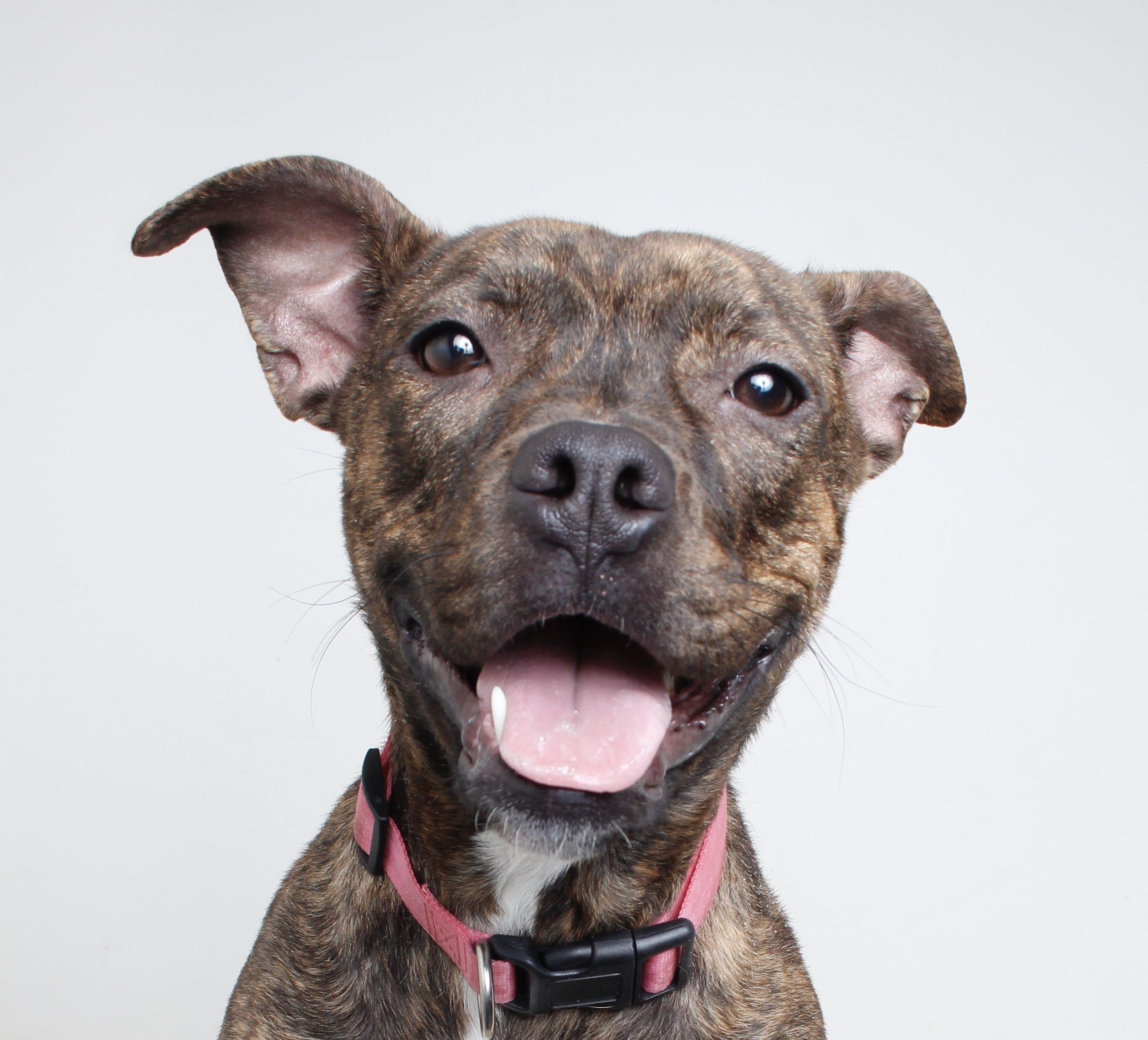Bullboxer Pit Dog For Adoption In Eden Prairie Mn Adn 759829 On