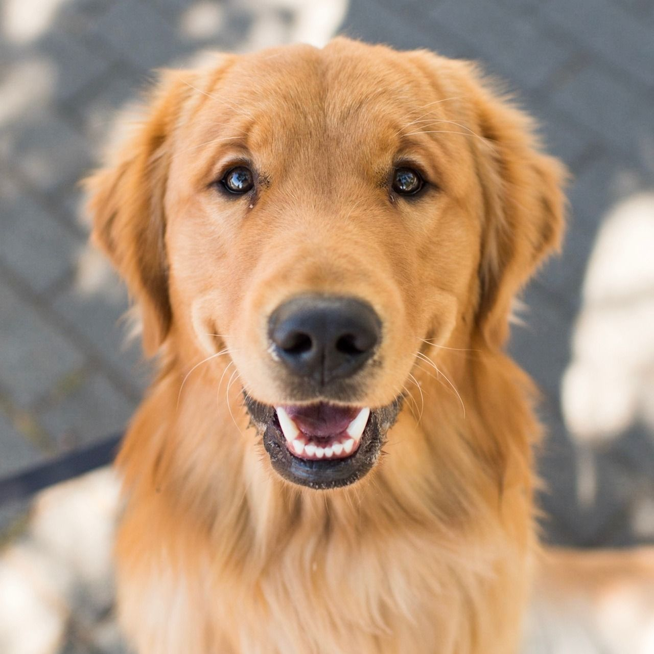 Gilly Golden Retriever 13 M O Coopers Park Vancouver Bc