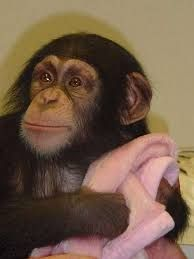 Image result for beautiful baby chimp