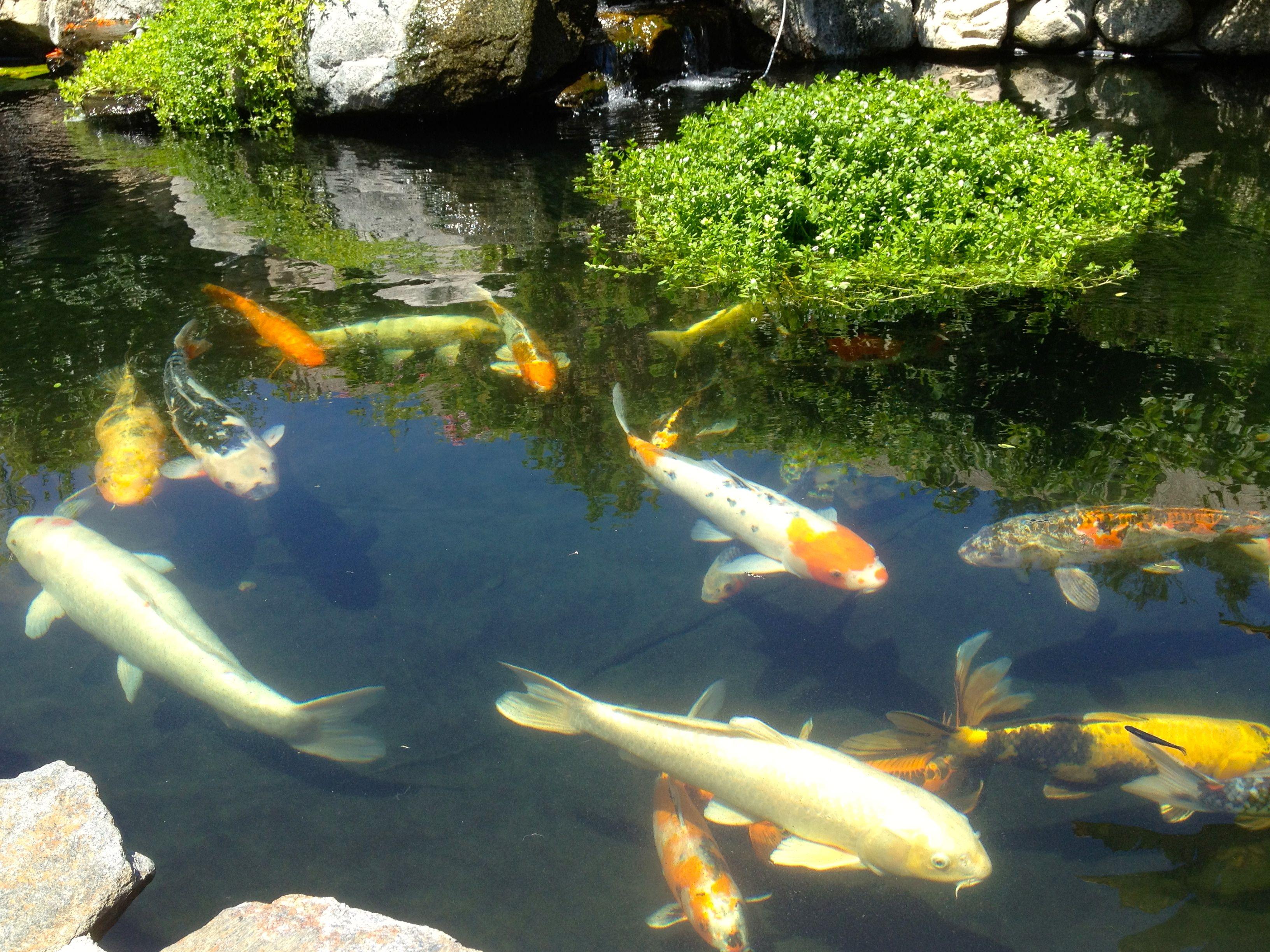 Back Yard Koi Pond Koi Koi Pond Koi Fish