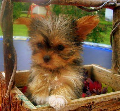 Adorable Shih Tzu Yorkie Mix Puppies Yorkie Puppies Yorkie Puppy