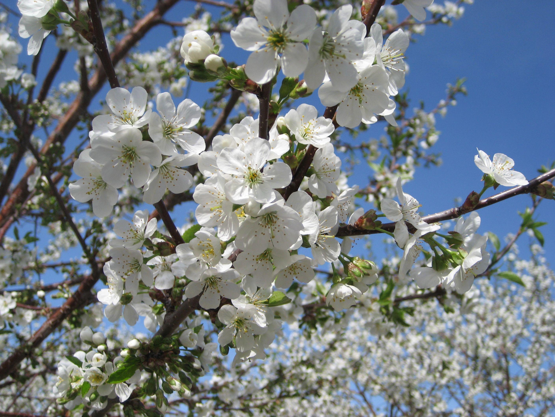 Door County Cherry Blossoms Are Beautiful In The Springtime Door County Cherries Door County Wisconsin Door County