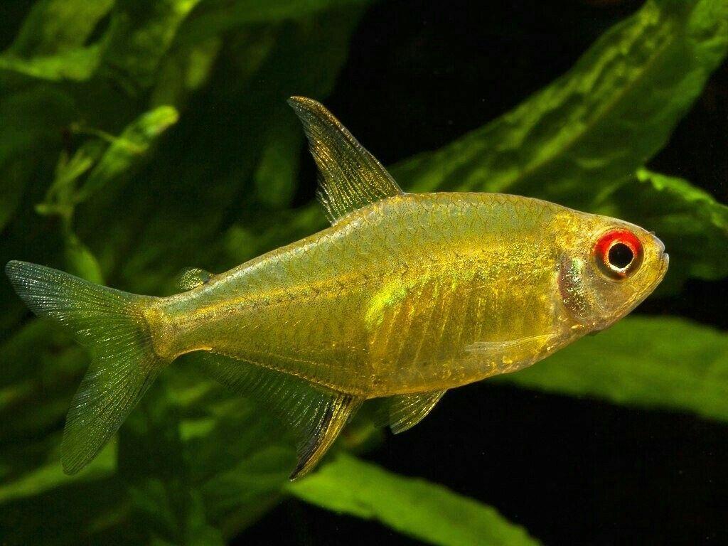 Lemon Tetra Tetra Fish Tropical Freshwater Fish Fish