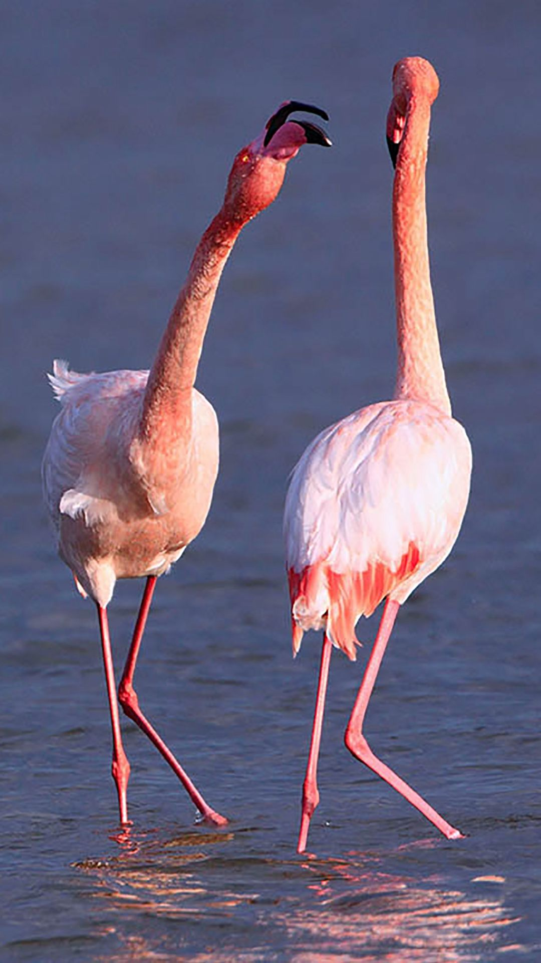 Camargue Rose Flamingo iPhone 8 Wallpapers (With images