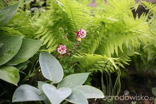 Buszując W Zbożu I Kukurydzy Hosta Paproć I Orlik Garden