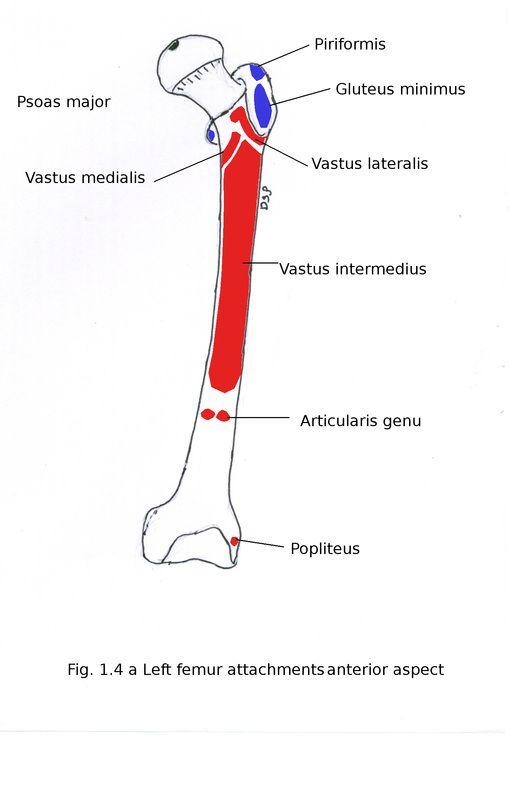 Inserciones musculares en fémur próximas y medio. La Unidad ...