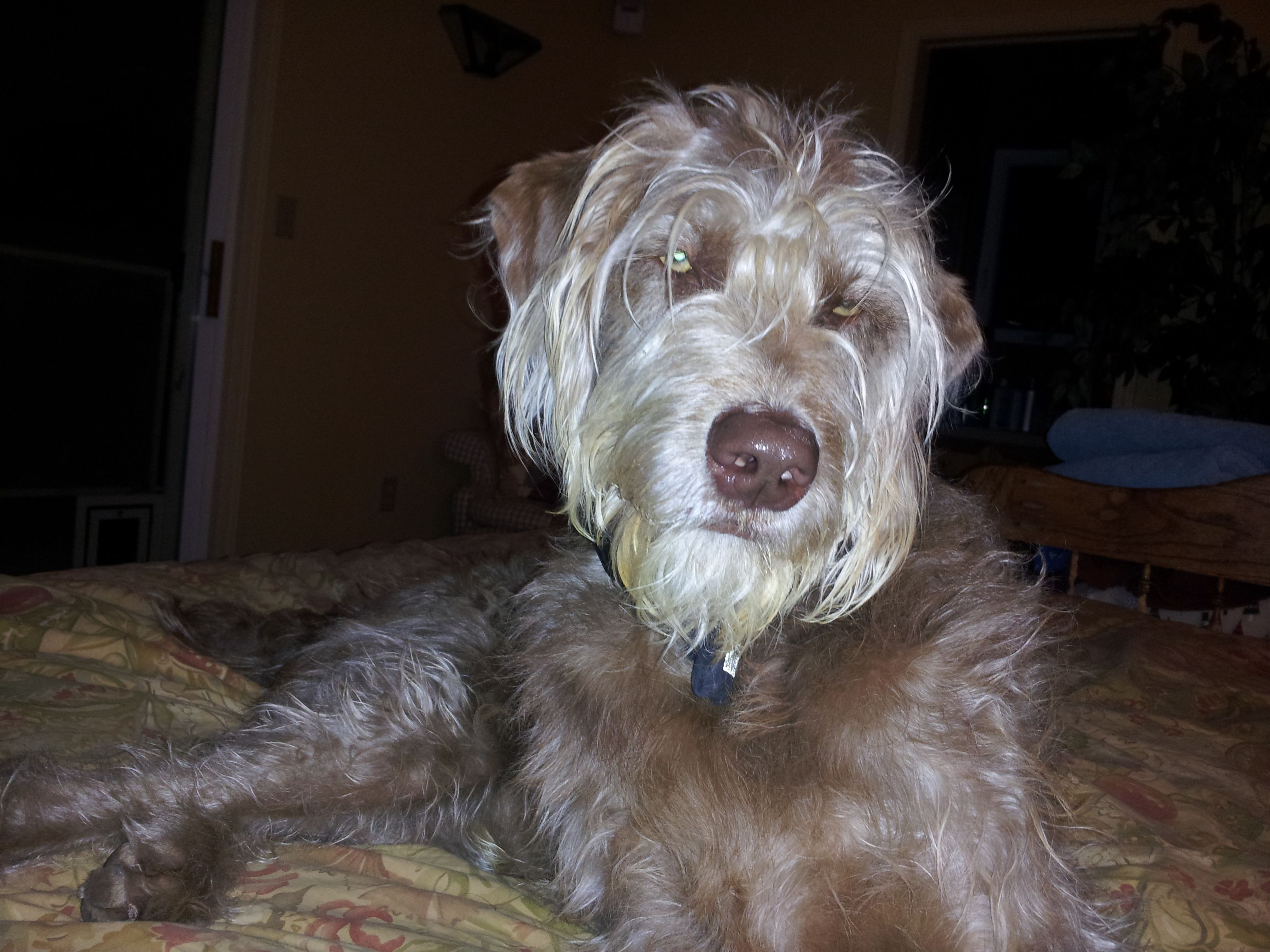 Our Weimardoodle, Clancy. | Precious | Pinterest | Doodles, Dog ...