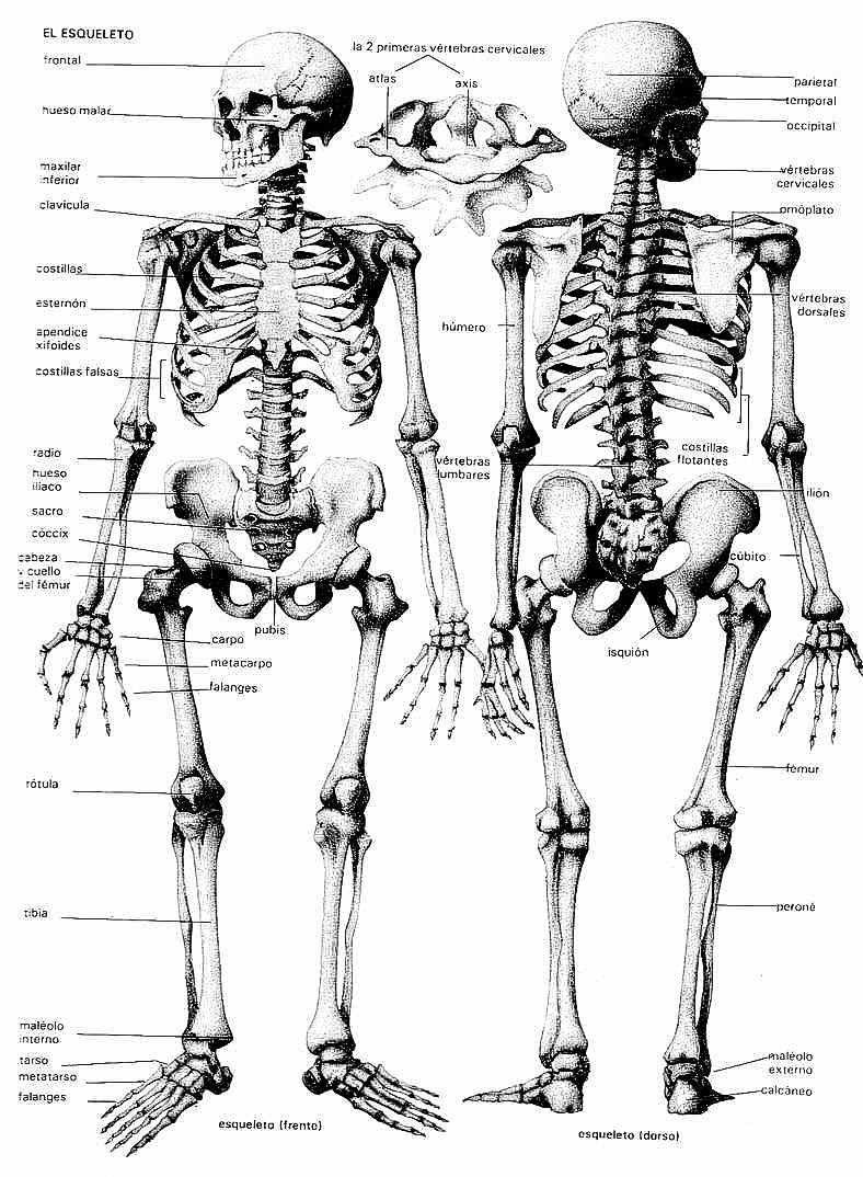 Image result for esqueleto humano imagen para imprimir | cuerpo ...