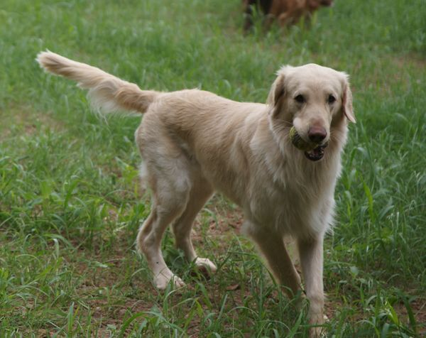 A Very Rare Yellow Flat Coated Retriever So Pretty This Looks