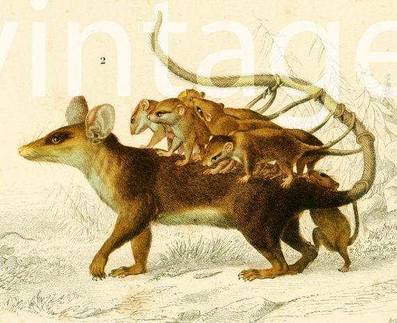 1861 Didelphe, Opposum, Orbigny Planche Originale, Zoologie 19ème, Didelphe marsupialis et ses petits