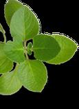 Propiedades del Ajo. Infografía resumen - Farmacognosia. Plantas medicinales