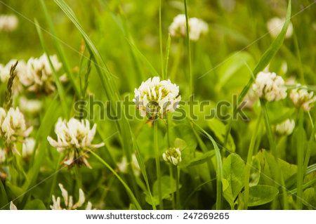 Trifolium Repens L. (White clover, Dutch Clover)