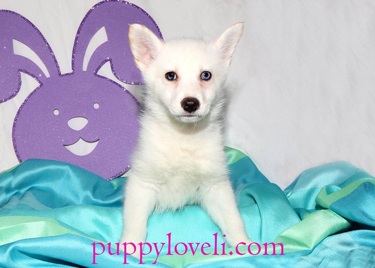 Alaskan Klee Kai puppy for sale on Long Island | Puppy Love