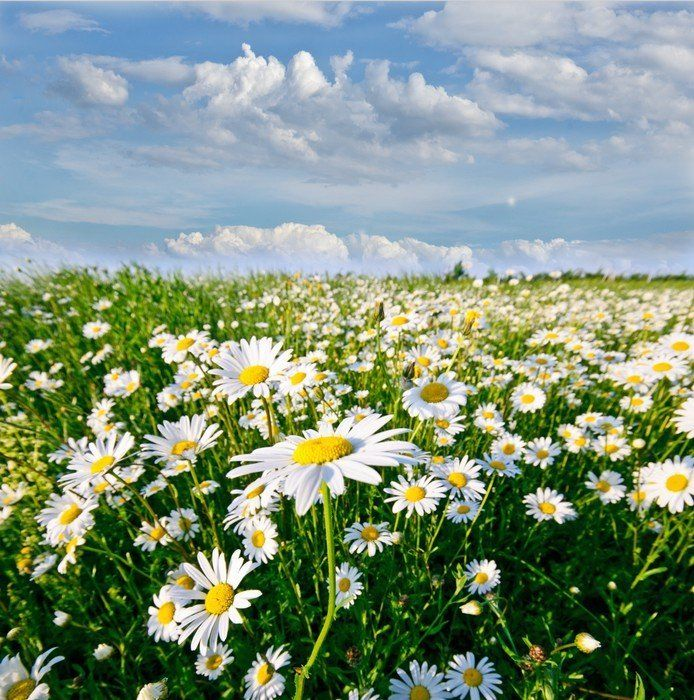 Springtime Field Of Daisy Flowers With Blue Sky And Clouds Wall Mural Pixers We Live To Change In 2021 Sky And Clouds Beautiful Scenery Pictures Field Wallpaper