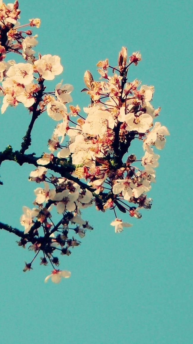 Cherry Blossom Iphone 6 Wallpaper Flowers Wallpaper Iphone Fondos De Pantalla Fondos De Flores