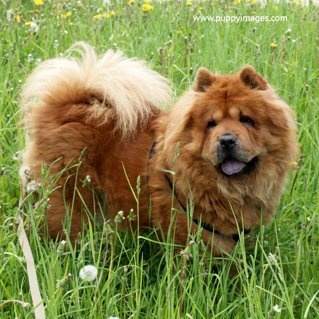 Chow Chow In Grass Puppy Dog Images