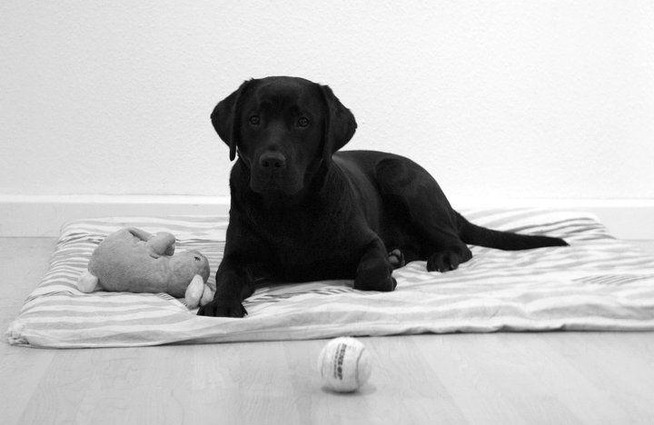 Frieda Pawshake Hunde Welpen Hunde Labrador Retrievers