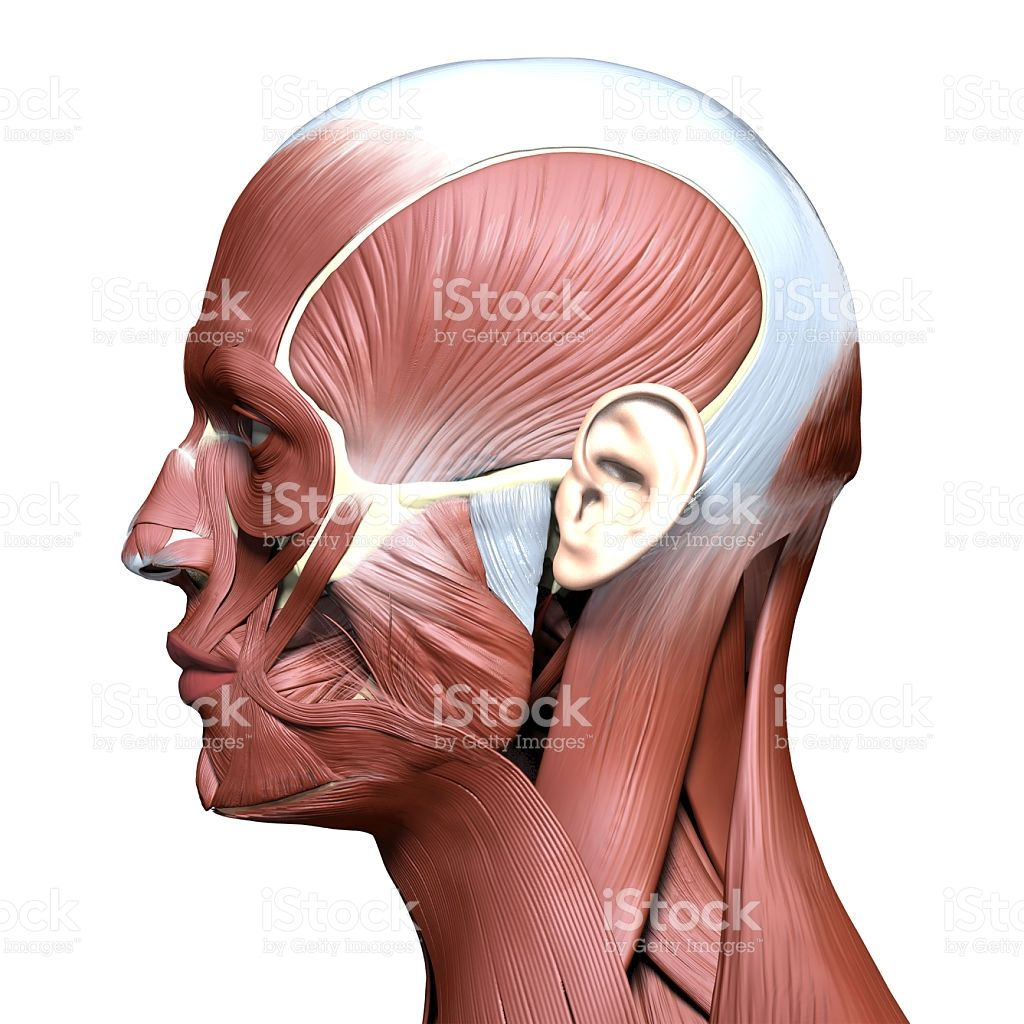 Image Result For Nose Muscle Anatomy