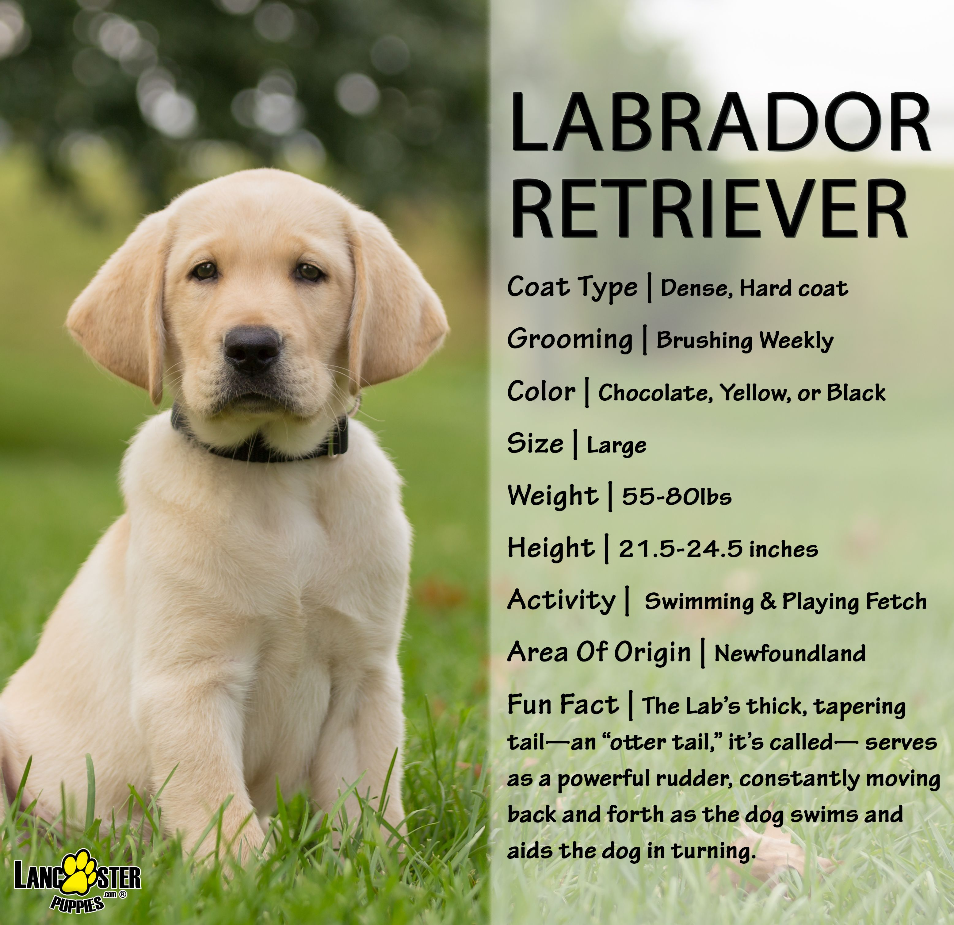 Pin By Kathe S On Labradors In 2020 Labrador Retriever Labrador Retriever Puppies Retriever